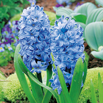 Hyacinth Bulbs - Delft Blue