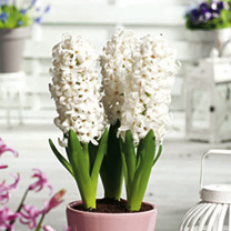 Hyacinth Chalk Box Planter