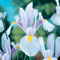 Lavender-violet standards and white falls with delicate wisteria-blue veins, and lemon-yellow blotch. Flowers May-June. Height 55cm. Bulb size 8/9cm.