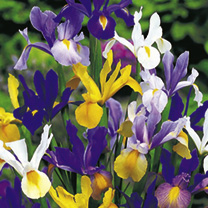 A hardy Dutch iris with elegant, delicately scented flowers in a bright mix of colours. Give them a try! Flowers June-July. Height 60cm (24). HP Hardy