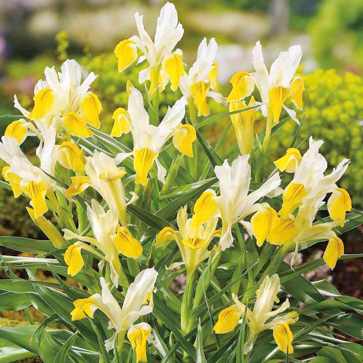 Iris bucharica Bulbs