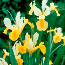Beautiful cream iris with golden yellow tongue. Flowers May. Height 40-50cm. Bulb size 7/8cm. (Bulb sizes quoted in centimetres refer to the circumfer