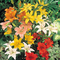 Lily Bulbs - Asiatic Mixed