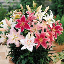 Attractive flowers July-August. Height 30-60cm (12-24). Dwarf oriental lilies. Bulb size 16/18cm. (Please note: We are not normally able to accept ord