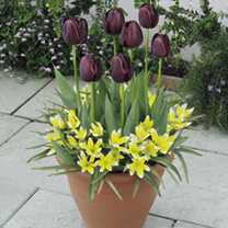Spring Bulbs - Lucky Dip