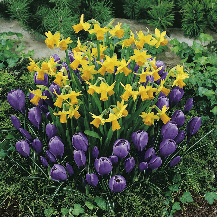 Plant-O-Tray Classic Preplanted Bulbs - Narcissus/Crocus
