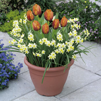 Plant-O-Mat Patio Preplanted Bulbs - Tulip/Narcissus