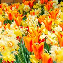 A sparkling mix of tulips and narcissus. Narcissus Tahiti and Carlton (bright orange and yellow) with Tulip Ballerina (flames of orange) for a great b
