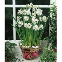 Narcissus Bulbs - Paperwhite