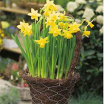 Narcissus Bulbs - Tete-a-Tete