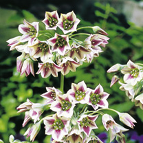 Tall stems topped with an umbrella of creamy-green, lilac-flushed, bell-shaped blooms followed by unusual shuttlecock-like seed heads. Attractive to p