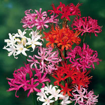 Nerine bowdenii Bulbs - Collection