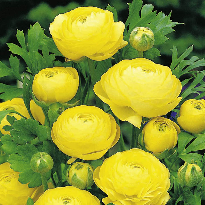 ranunculus bulbs - yellow - all bulbs - flower bulbs - gardening