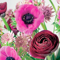 Ranunculus Bulbs - Pauline Violet