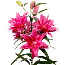 Roselily® Bulbs - Thalita
