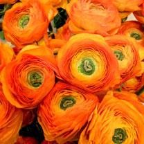 Ranunculus Bulbs - Clementine