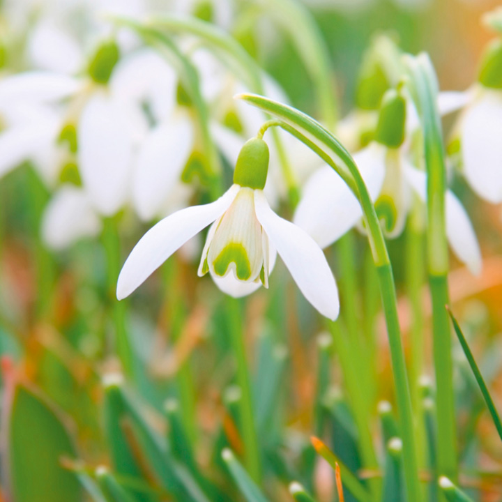 Snowdrop Common Bulbs - In The Green