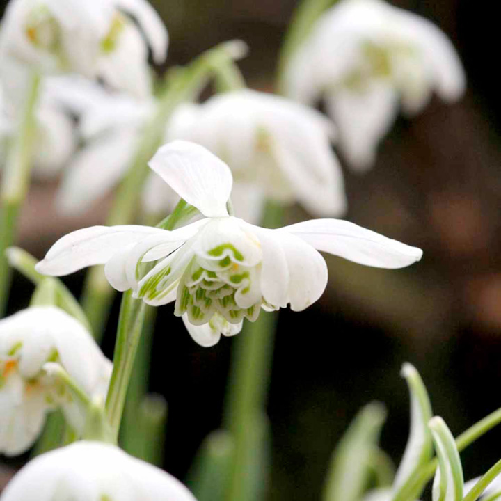 Snowdrop Bulbs - Double