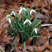Snowdrop Bulbs - Atkinisii