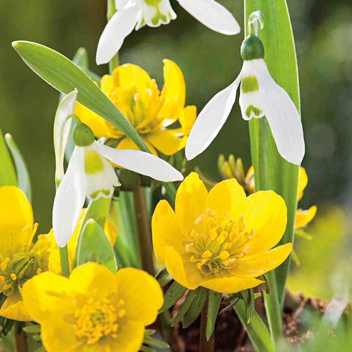 Snowdrop Bulbs - Elwesii