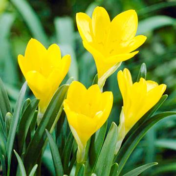 Sternbergia Bulbs - lutea