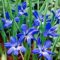 Crocus Corm - Chilean Blue