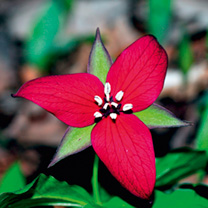 Trillium Plants - Collection