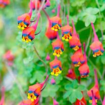 Tropaeolum tricolor Bulb