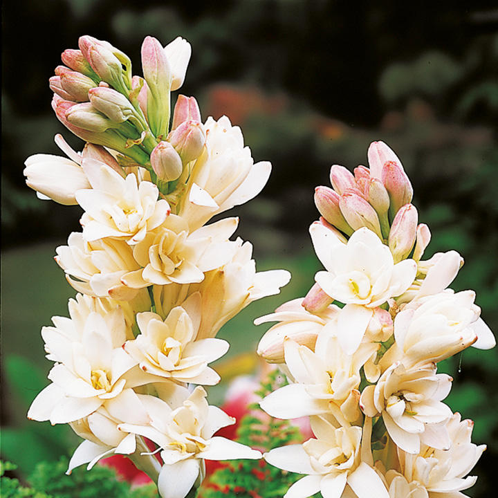 Polianthes tuberose Tubers - The Pearl