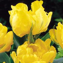 Tulip (Double Late) Bulbs - Monte Carlo