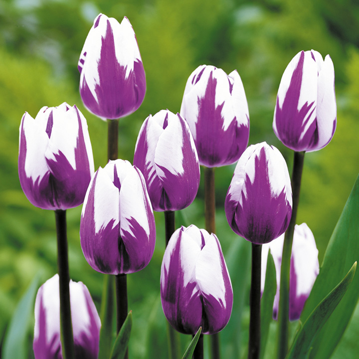 Tulip - Classic Blueberry Ripple