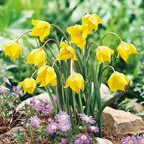 Woodland Tulip Bulbs