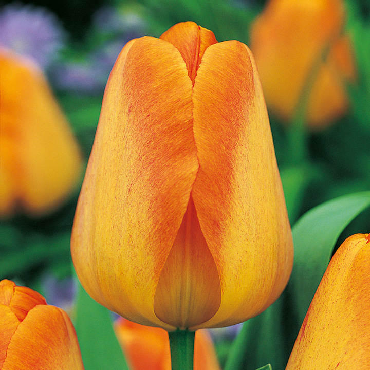 Tulip Coll (8 varieties) (114)