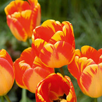 Tulip Bulbs - Olympic Flame