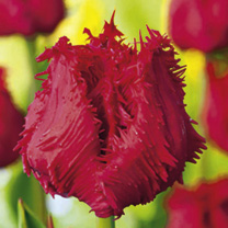 Tulip Bulbs - Barbados (Fringed)