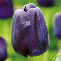 Tulip (Single) Bulbs - Paul Scherer