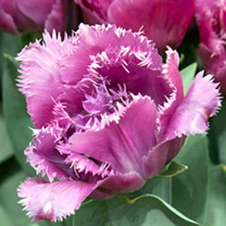 Tulip Match Point (Fringed)