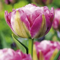 Tulip Double Sugar (Double)