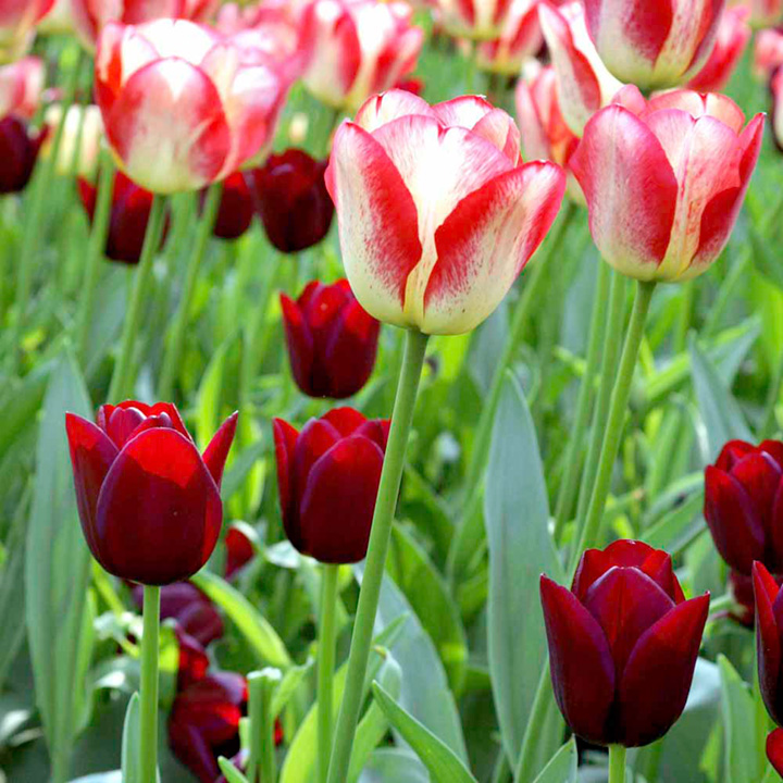 Tulip Tequila Sunrise and National Velvet (Triumph) - All Bulbs ...
