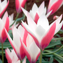 Tulip Bulbs - Peppermint Stick (Species)