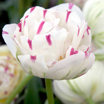 Tulip Bulbs - Danceline