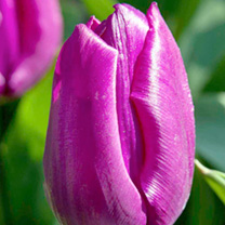 Tulip (Single) Bulbs - Purple Prince