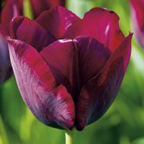 Tulip Bulbs - Ronaldo