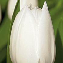 Tulip Bulbs - Royal Virgin