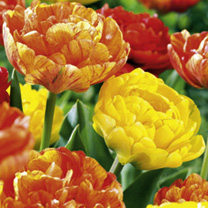 Tulip Bulbs - Sunset Twin Pack