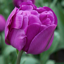 Tulip Bulbs - Double Purple Peony