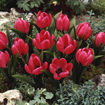 Tulip Bulbs - Violacea Black Base