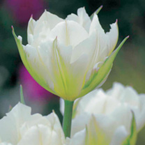 Tulip Bulbs - Exotic Emperor