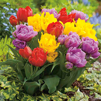 Tulip Bulbs - Double Early Collection