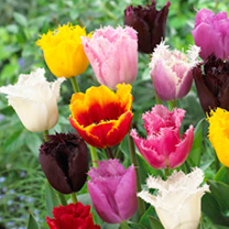 Tulip Bulbs - Fringed Collection
